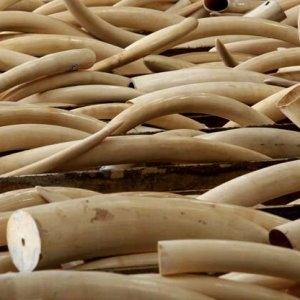 Continua la guerra ai cacciatori di elefanti : il Governo del Kenya brucia 105 tonnellate di avorio News dal Mondo