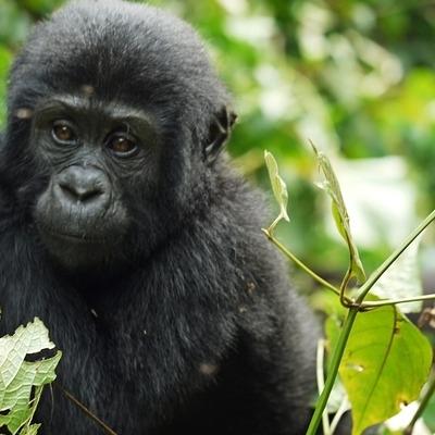 Scimpanzé e Gorilla Safari Safari