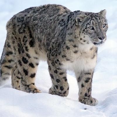 Alla ricerca del leopardo delle nevi