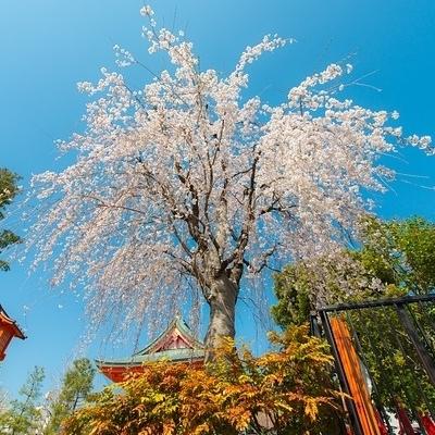 Hanami-Sakura e l'incantesimo della Primavera